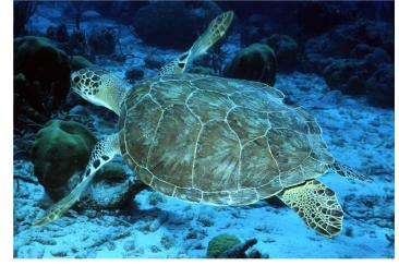 Green sea turtle, Photo: NOAA
