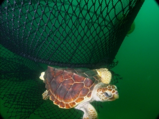 Loggerhead turtle, Photo: NOAA