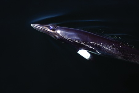 Minke whale. Photo: WDC
