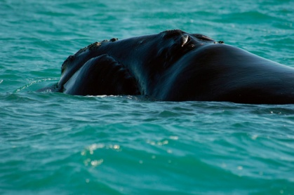 North Atlantic right whale. Photo: NOAA
