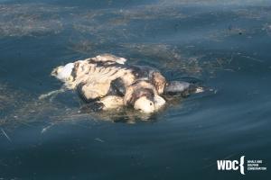 dead leatherback